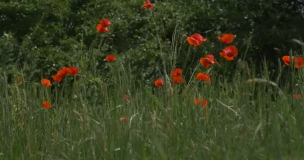 Red Poppies, Papaver, Flowers, Field, Trees, Windy