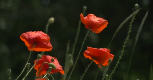 Red Poppies, Papaver, Flowers And Offshots Closeup, Swaying