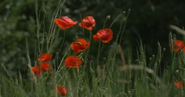 Red Poppies, Papaver, Flowers Closeup, Field