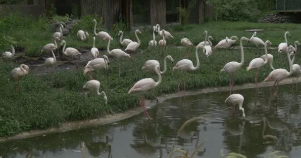 Flamingók állomány séta a tó a réten