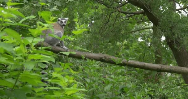Lemur Through Plants, Leaves, On the Log