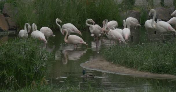 Plameňáci jsou chytání ryb v rybníku, kachna divoká