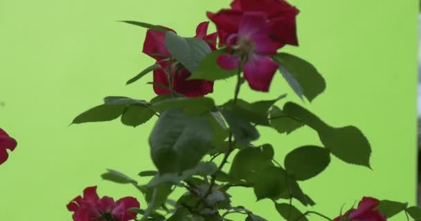 Red Roses on a Rose Bush, Green Leaves And Branches, Wind
