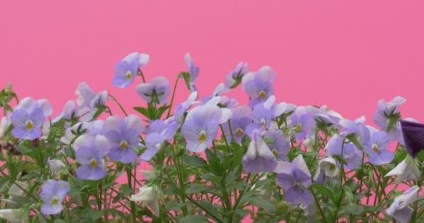 Světle modrá Viola Tricolor, Heartseases, květiny, detail