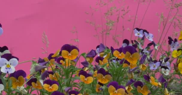 Fialový a žlutý Viola Tricolor, maceška, květiny, Windgrass, Chundelka