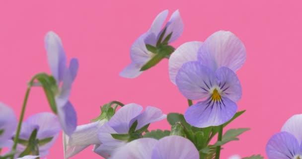Světle modrá Viola Tricolor, Bush Heartseases, květiny, detail