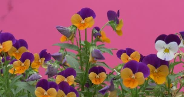 Žlutá a fialová violy Tricolor, maceška, květiny