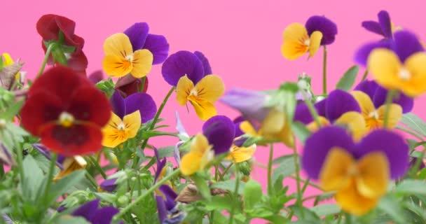 Viola Tricolor, maceška, květiny, rozmazané
