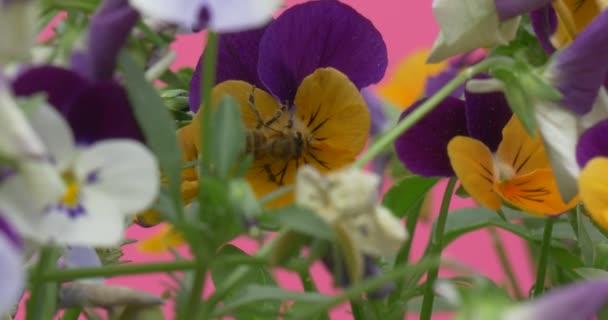 Včela na Viola Tricolor, maceška, květiny
