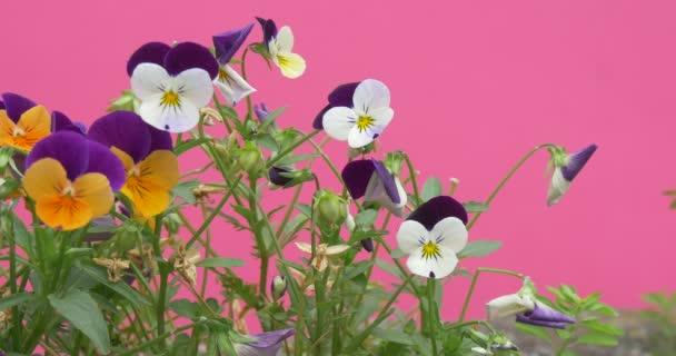 Viola Tricolor, maceška, květiny, vlající