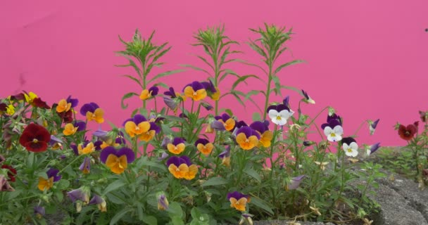 Violy trikolor, Heartseases, květiny na záhon