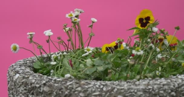 Viola Tricolor, bílé pole květiny, kytice na záhonu