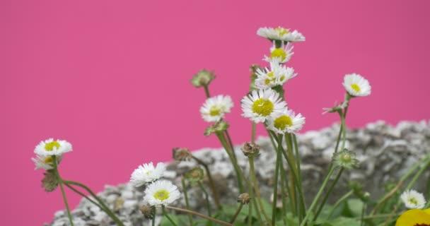 Fehér mező virágok, a virágágyásba vadvirágok