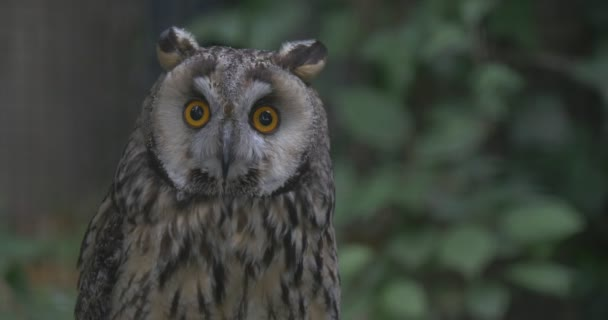 Grey Owl Is Staring at Camera, Yellow Eyes, Ears
