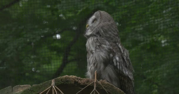 Great Grey Owl, Bird, is Turning Head, Cage Grate