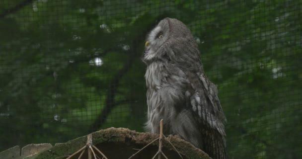 Velká šedá sova, pták, je otáčení hlavy, klec rošt