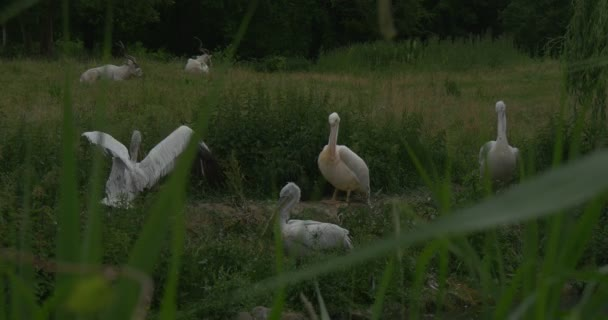 Group of Pelecanus Rufescens,Onocrotalus, Pink- Backed And Great White Pelicans and Addaxes on Meadow