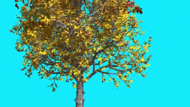 Mountain Maple Chroma Key Blue Screen Tree Yellow Leaves Branches Tree is Swaying at the Wind Sunny Day Sun Shines Fall Computer Generated Animation