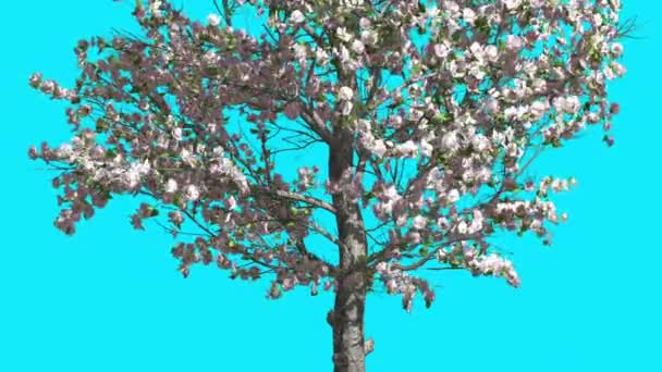 Apple tree in spring pink flowers chroma key blue screen thin tree apple tree in spring pink flowers chroma key blue screen thin tree with green leaves thin mightylinksfo