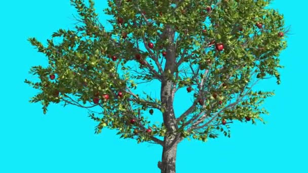 Apple Tree Red Fruits Chroma Key Blue Screen Thin Tree With Green Leaves Thin Trunk Tree is Swaying at the Wind Sunny Day Summer Computer Animation