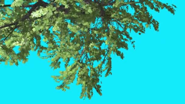 Top of Plitvice Maple Chroma Key Blue Screen Turned Tree With Green Leaves Tree is Swaying at the Wind Sunny Day Summer Computer Generated Animation