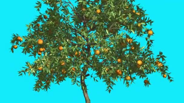 Orange Tree Fruits Chroma Key Blue Screen Thin Tree With Green Narrow Leaves Thin Trunk Tree is Swaying at the Wind Sunny Day Summer Computer Animation