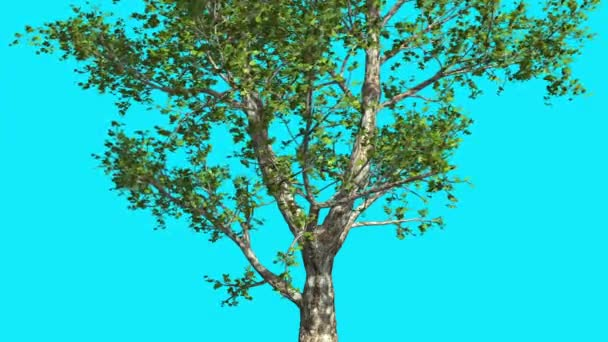 London Plane Chroma Key Blue Screen Tree Green Leaves Branches Tree is Swaying at the Wind in Sunny Day Sun Shines Summer Computer Generated Animation