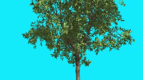 Orange Tree Chroma Key Blue Screen Thin Tree With Green Leaves Thin Trunk Tree is Swaying at the Wind Sunny Day Sun Shines Summer Computer Animation