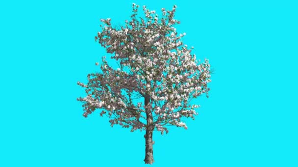 Apple Tree with Pink Flowers on Chroma Key Blue Screen Tree Swaying at the Wind Green Crown Leaves Spring Sunny Day Computer Generated Animation