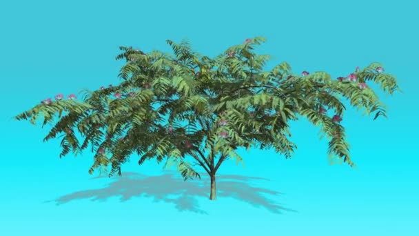 Mimosa Pink Flowers Tree on Chroma Key Blue Screen Tree Swaying at the Wind Green Leaves Spring Sunny Shadow under Tree Computer Generated Animation