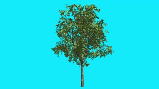 Orange Thin Tree on Chroma Key Blue Screen Tree Swaying at the Wind Green Crown Fluttering Leaves Summer Sunny Day Computer Generated Animation