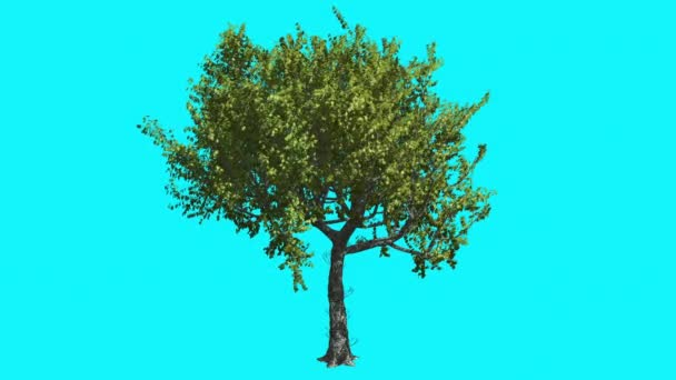 Red Oak Thin Tree With Green Leaves Is Swaying at The Wind Summer Computer Generated Animation Made in Studio