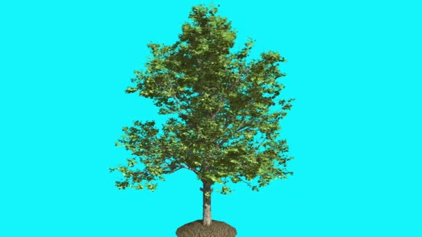 Red Maple in the Ground Thin Tree With Green Leaves Is Swaying at The Wind Summer Computer Generated Animation Made in Studio