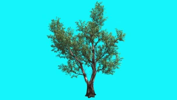 Rojo goma árbol con hojas color verde estrecha es movido en el ...