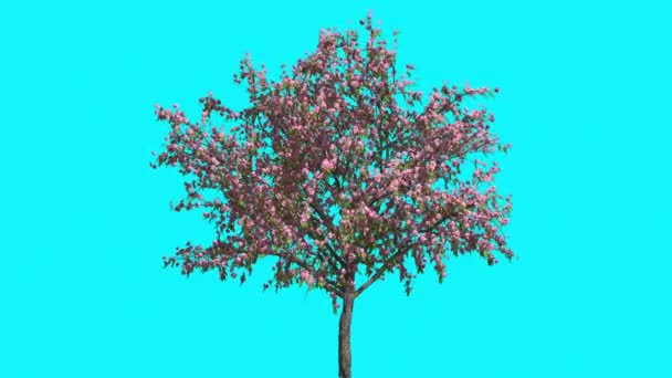Peach Tree With Pink Flowers Thin Tree is Swaying at the Wind Springtime Computer Generated Animation Made in Studio