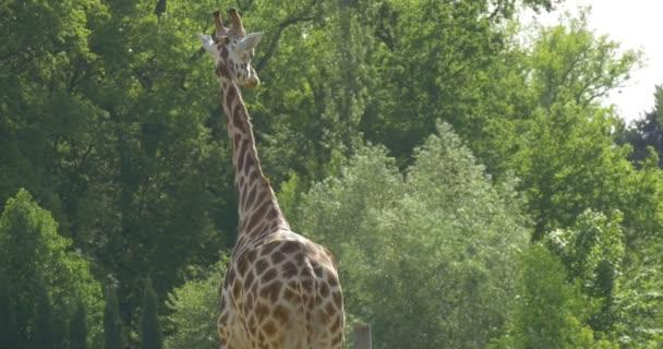 Zsiráf van állandó és nyalás magát az ember a keretben