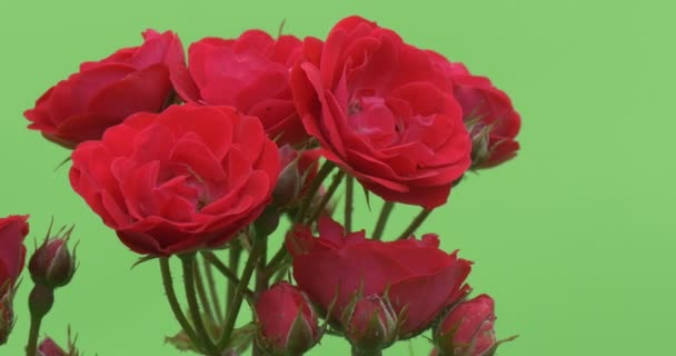 Červená růže Bush, přední banda červeně kvetoucí květiny, růže Bundle