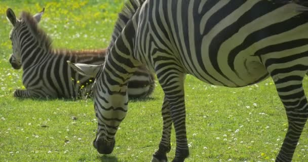 Zebra és a baba Zebra