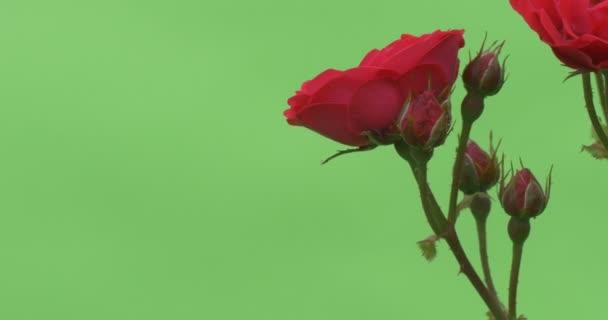 Bush Kırmızı çiçek Açan çiçekler Güller Closeup Kırmızı Gül Stok