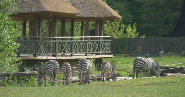 Five Grazing Zebras, Giraffe, Hovels
