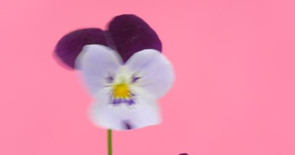 Jeden bílý a fialový Viola Tricolor, maceška, květiny