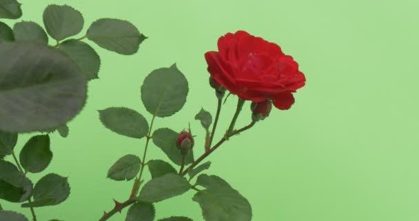 Červená růže Bush, červeně kvetoucí květiny na Bush, Rose