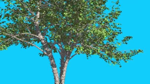 Říčka Birch Tree se rozhoupává ve větru zelené stromy v létě v letním roce generovaná animace v ateliéru