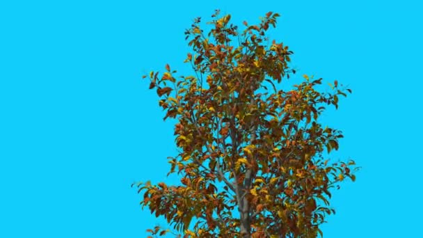 Sourwood Top of Thin Tree is Swaying at The Wind Yellow Tree Leaves Are Fluttering Crown in Fall Computer Generated Animation Made in Studio
