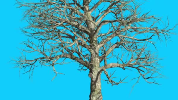 Southern Magnolia Tree Is Swaying At The Wind Branches No Leaves Are