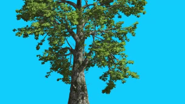Sassafras Tree is Swaying at The Wind Green Tree Leaves Are Fluttering Lower Branches in Summer Computer Generated Animation Made in Studio