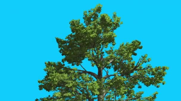 Sassafras Top of Tree is Swaying at The Wind Green Tree Leaves Are Fluttering Crown in Summer Computer Generated Animation Made in Studio