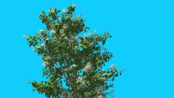 Sourwood Inflorescences Top of Tree is Swaying Windy Green Tree Leaves Are Fluttering Crown in Spring Computer Generated Animation Studio