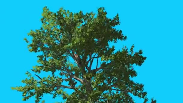 Sassafras Top of Tree is Swaying at Strong Wind Green Tree Leaves Are Fluttering Crown in Summer Computer Generated Animation Made in Studio