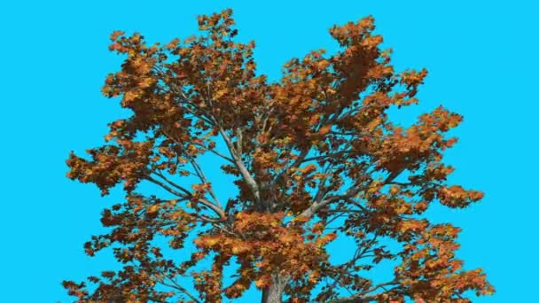 Sassafras Top of the Tree is Swaying at The Wind Yellow Tree Leaves Are Fluttering Crown in Fall Autumn Computer Generated Animation Made in Studio